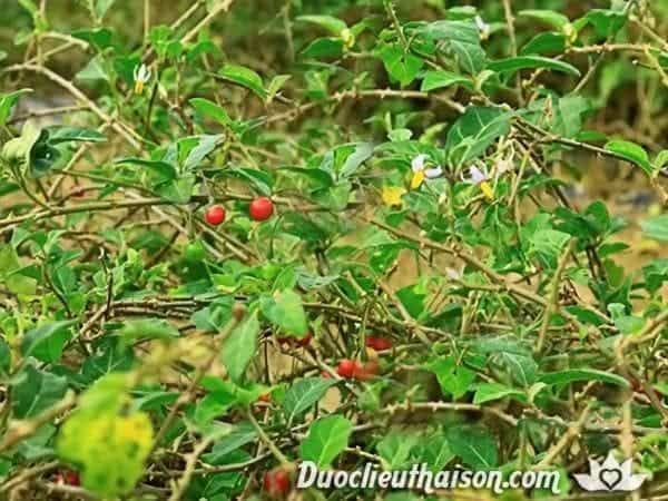 Hình ảnh cây cà gai leo