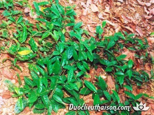 Hình ảnh cây ba kích trong tự nhiên