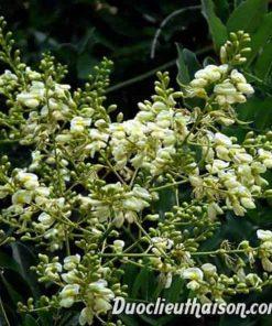 Cây hoa hòe chữa huyết áp cao