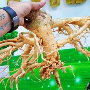 bán rễ củ đinh lăng nếp