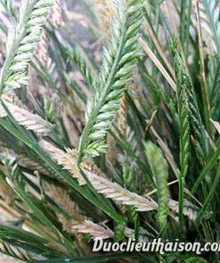Hình ảnh cỏ mần trầu