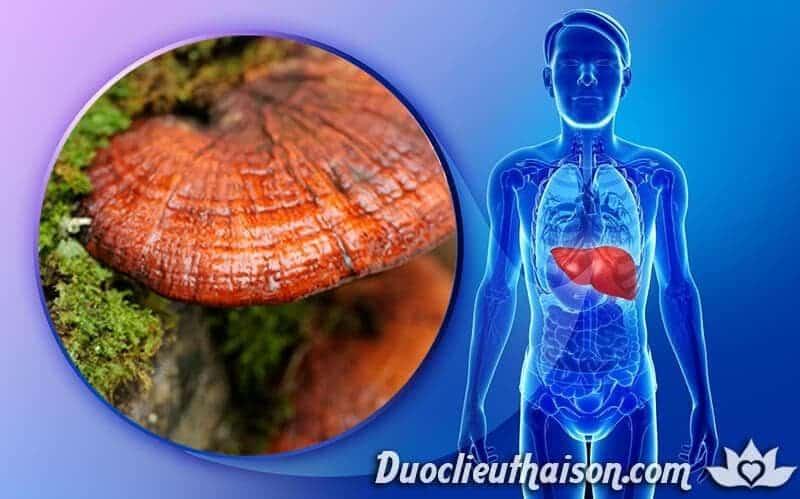 Nấm lim xanh chữa bệnh gan