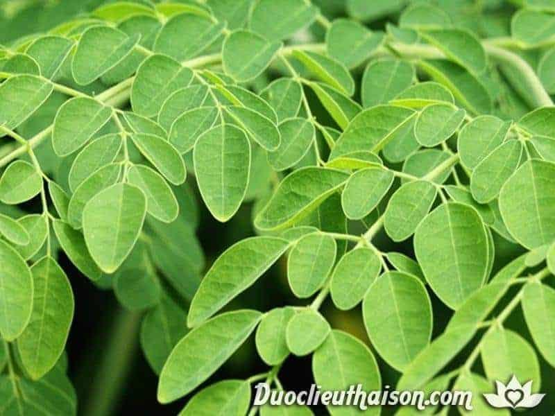 Lá cây chùm ngây hỗ trợ điều trị nhiều căn bệnh