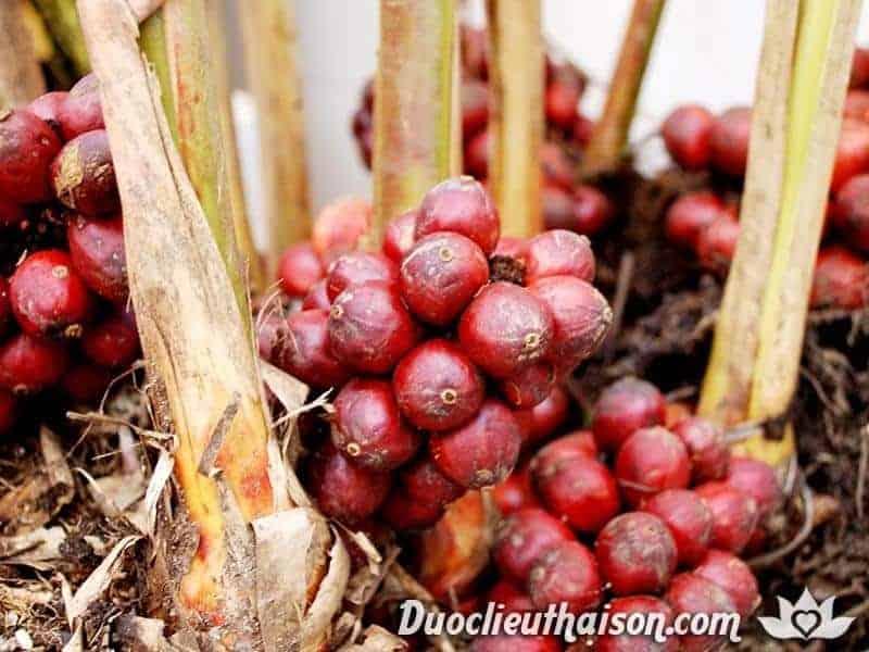 Hình ảnh cây thảo quả