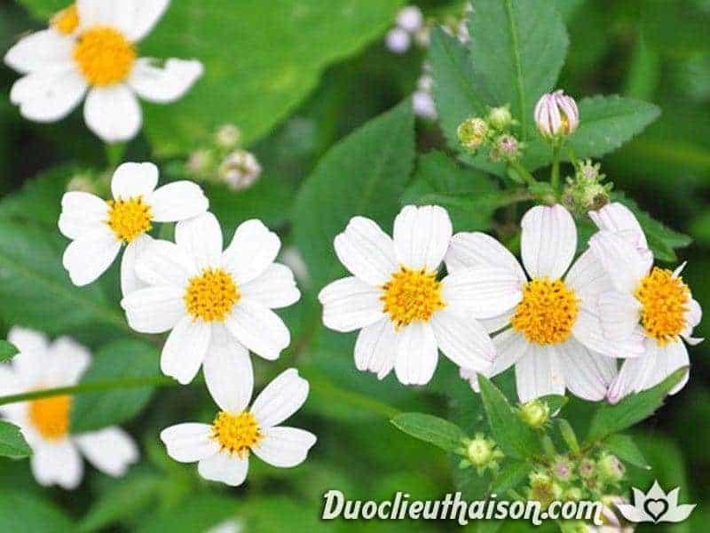 Cây hoa xuyến chi có thể chữa bệnh đường ruột