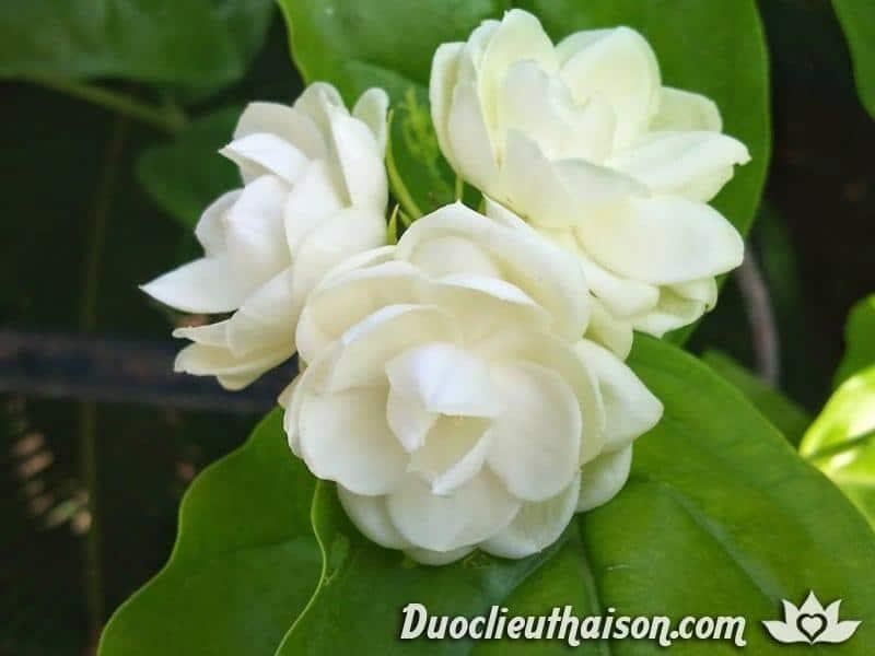 Hoa nhài là thành phần dưỡng da chống lão hóa lành tính, hiệu quả