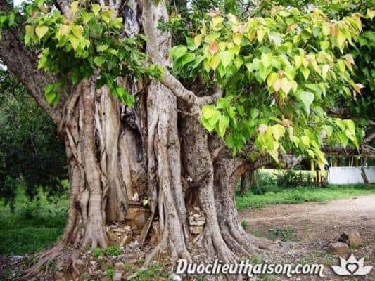 Cây bồ đề linh thiêng có nhiều công dụng chữa bệnh