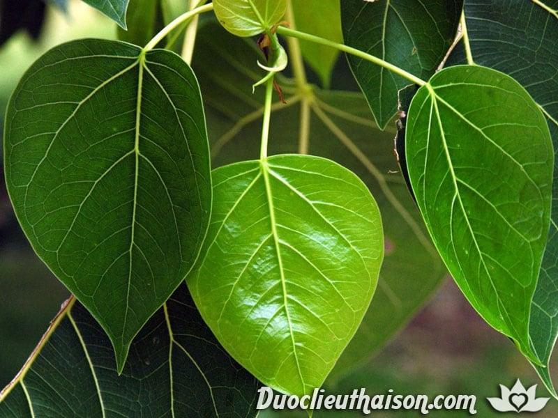 Cây bồ đề được trồng nhiều ở Ấn Độ và Việt Nam