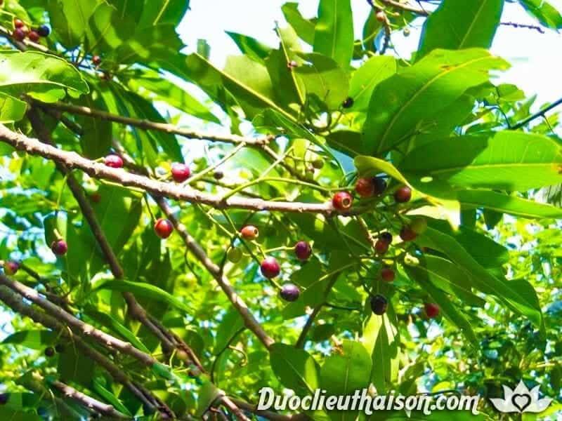 Hình ảnh cây lá vối