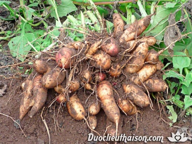 Thu hoạch củ cây sâm đất
