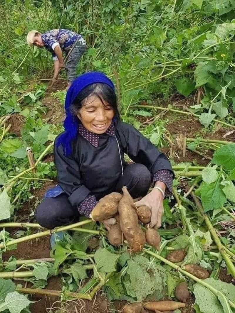 Thu hoạch sâm đất