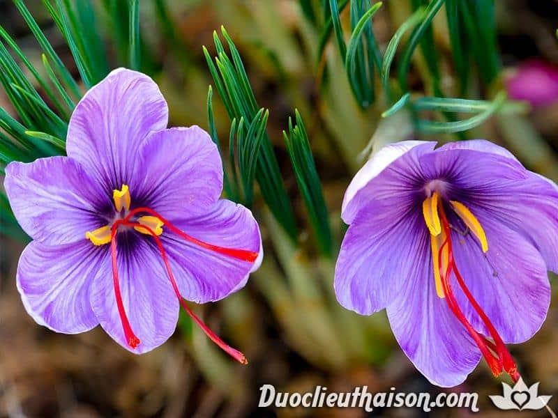 Hình ảnh nhụy hoa nghệ tây saffon