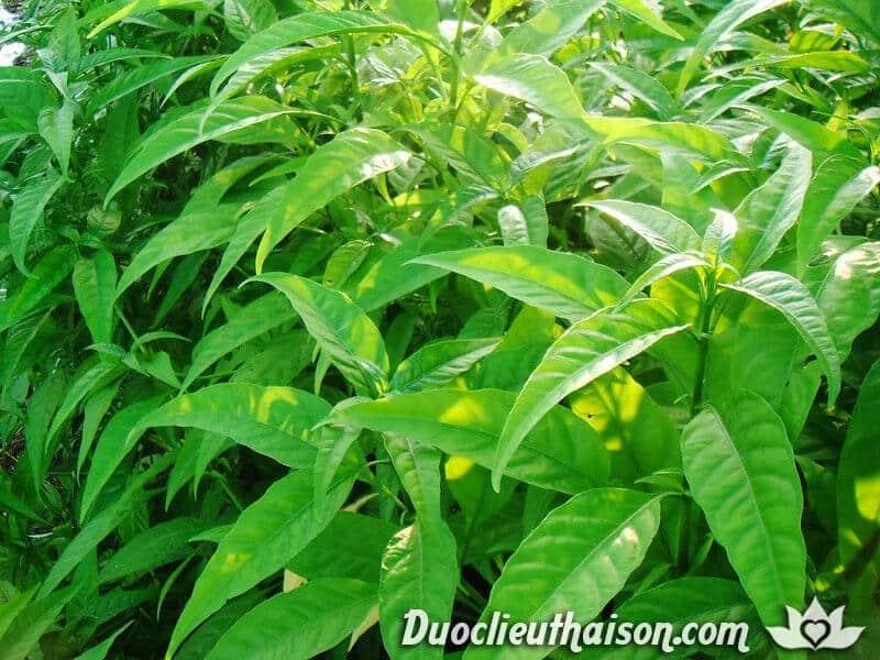 Cây hoàn ngọc trắng có nhiều công dụng chữa bệnh