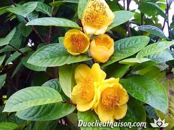 Hình ảnh cây trà hoa vàng đơm bông