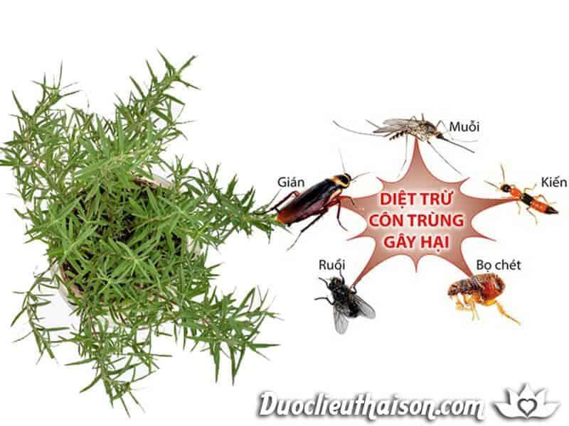 Hương thảo xua đuổi côn trùng