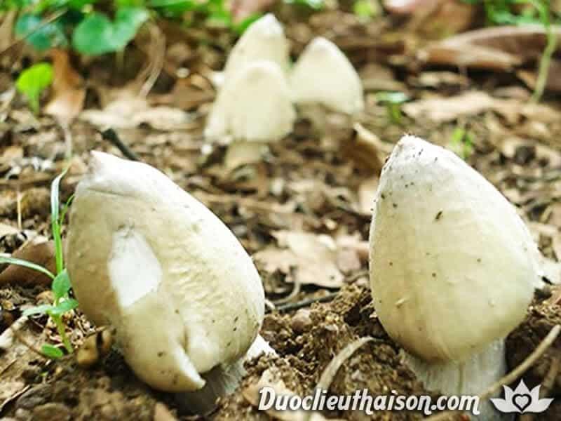 Hình ảnh nấm mối trắng mọc trong tự nhiên