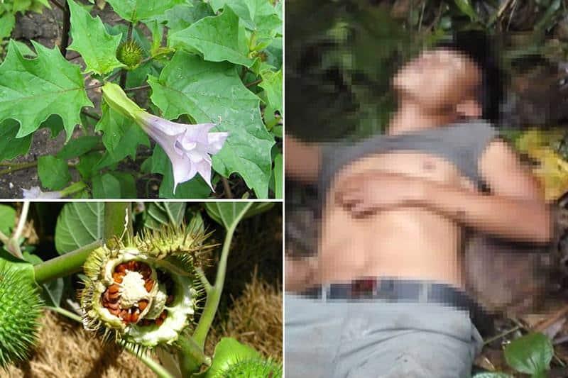 cà độc dược gây nguy hiểm chết người