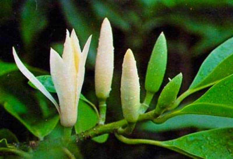 Vị thuốc quý hoa ngọc lan