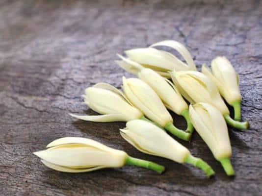 Hoa ngọc lan được Đông Y áp dụng trong điều trị bệnh vì hiệu quả mang lại cao.