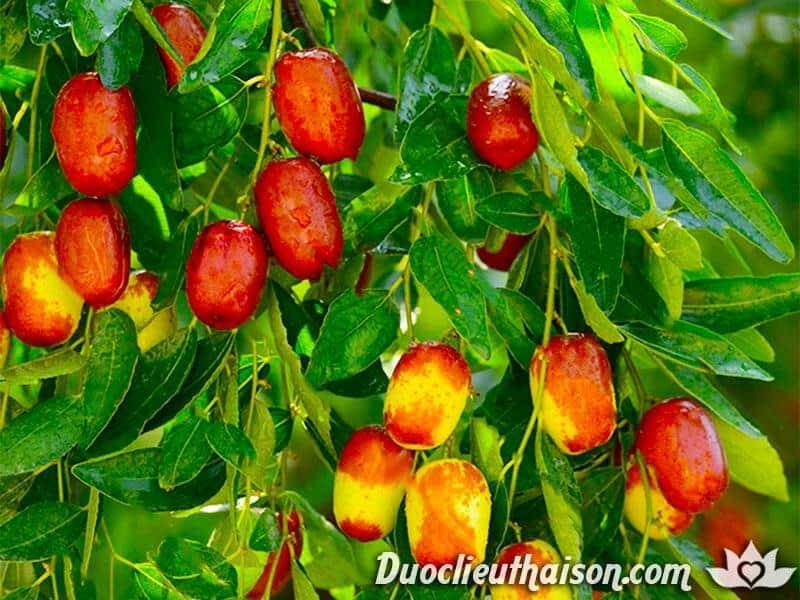 Hình ảnh quả táo đỏ tươi trước khi được thu hái