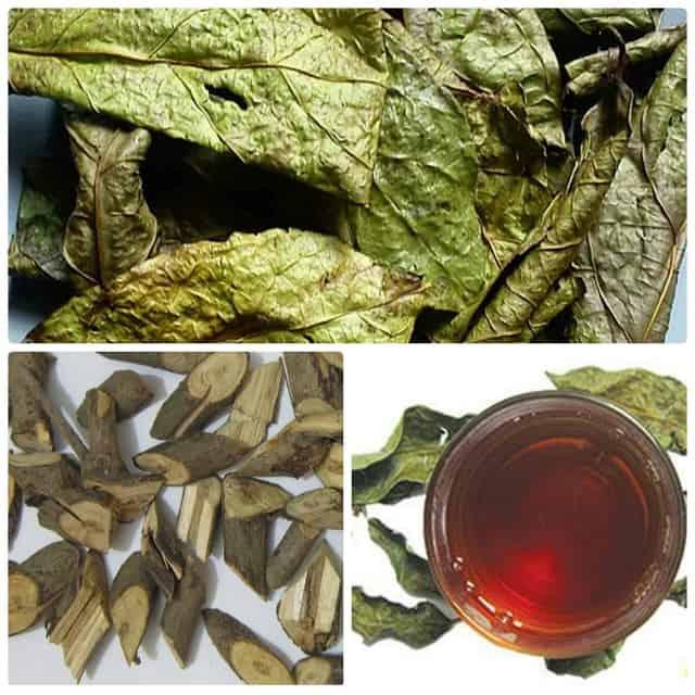 Xạ Đen chính là loại thảo dược quý trong Đông Y xuất hiện trong nhiều bài thuốc trị liệu