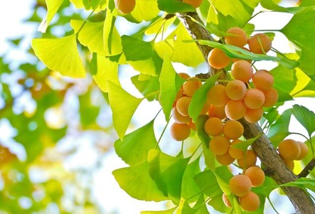Bạch quả có thể thu hái quanh năm