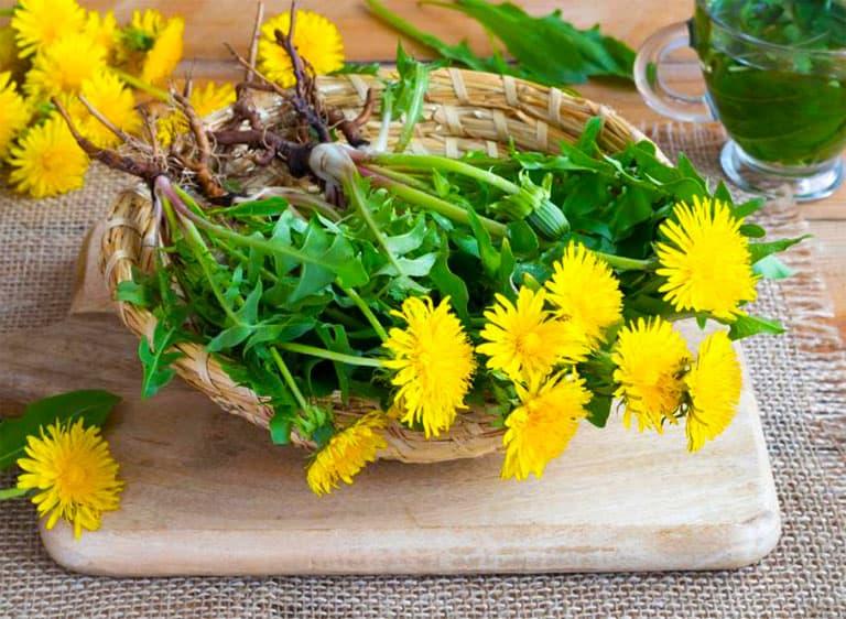 Hình ảnh cây bồ công anh Trung quốc, hay còn gọi là Bồ công anh lùn, hoa vàng