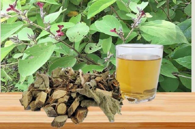 Cây An Xoa là thảo dược lành tính với công dụng tuyệt vời cho người mắc bệnh về gan