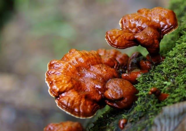 Nấm lim xanh là loại nấm quý mọc lên từ cây lim xanh đã chết trong rừng nguyên sinh