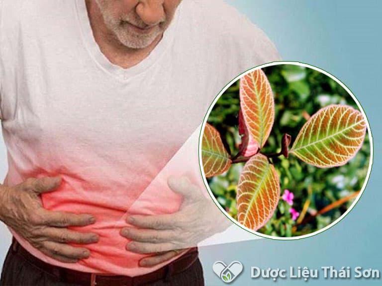 Lá khôi là vị thuốc quý hiệu quả trong việc hỗ trợ điều trị đau dạ dày, viêm dạ dày