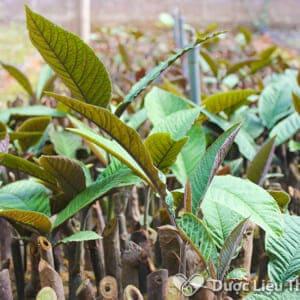 Bộ phận được sử dụng nhiều để làm thuốc và cũng chứa nhiều dược chất là phần lá khôi