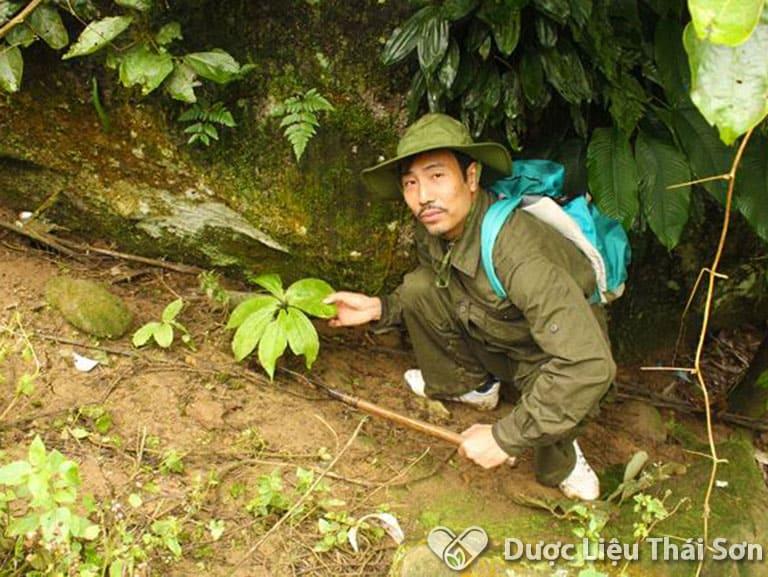 Sâm xuyên đá là loại sâm mọc dạng dây leo trên các vách đá trong rừng già