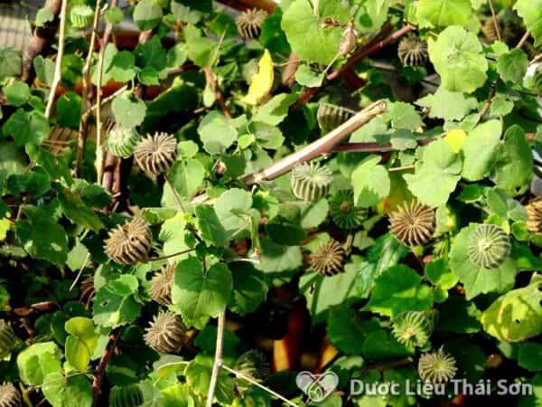 Cây Cối Xay trong Đông Y là thảo dược có nhiều công dụng tốt cho sức khỏe