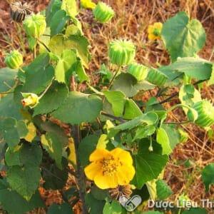 Hình ảnh cây thuốc cối xay, cây có hoa đơn màu vàng nhạt