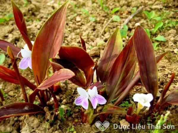 Hình ảnh cây Tam Thất Nam, lá cây lúc nhỏ có màu đỏ tía hoặc tím