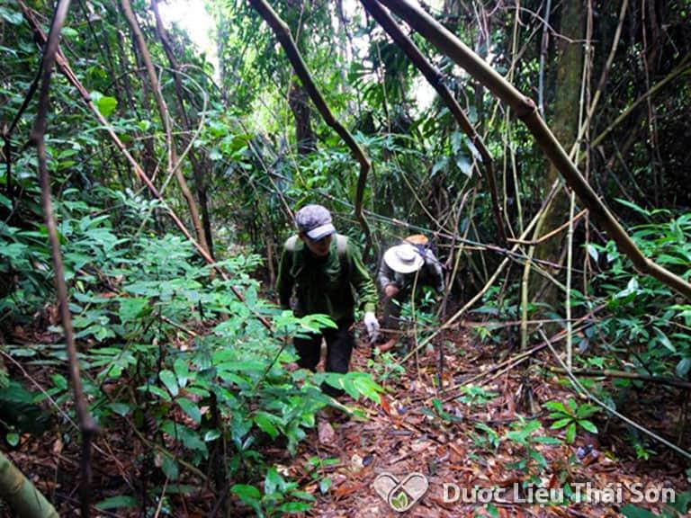 Mú Tửn chỉ mọc trong những khu rừng già có địa hình hiểm trở