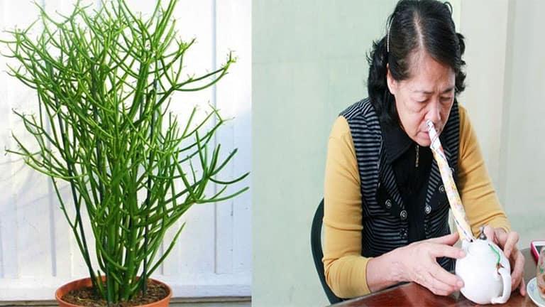 Bài thuốc từ cây giao tươi có thể trị khỏi bệnh viêm xoang