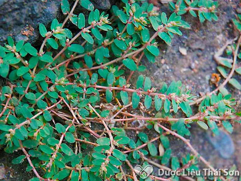 Hình ảnh cây cỏ sữa lá nhỏ, loại thảo dược thân thuộc của người dân Việt Nam
