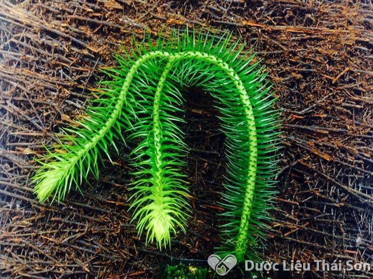 Trong cây thông đất chứa nhiều chất hóa học tốt cho hệ thần kinh
