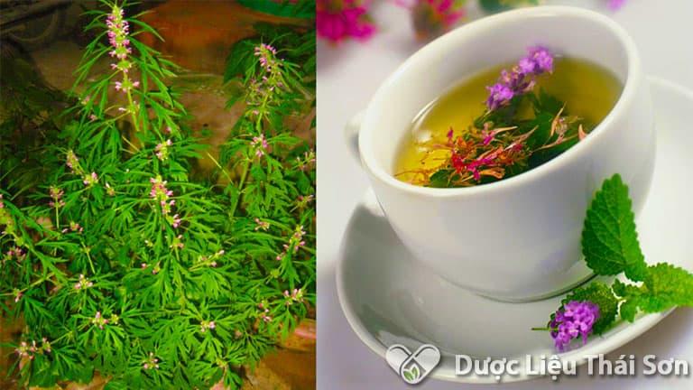 Sử dụng trà ích mẫu mỗi ngày đem lại công dụng to lớn cho sức khỏe, đặc biệt là chị em phụ nữ