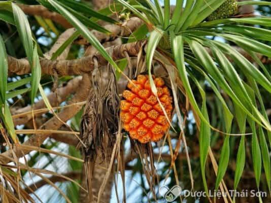 Cây dứa dại cũng có phần lá cây nhọn và răng cưa ở mép lá